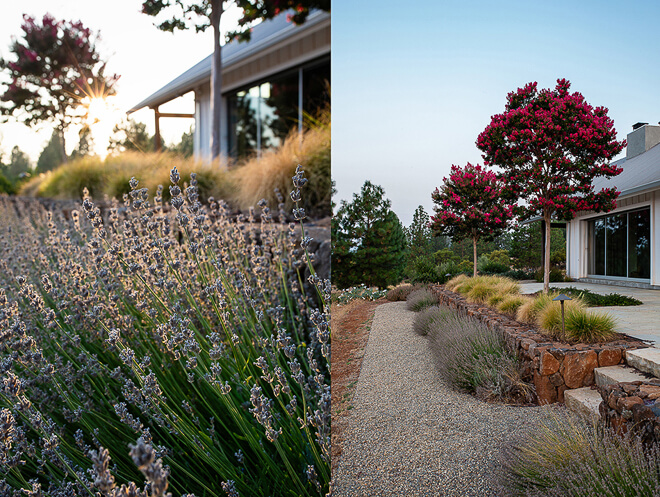 Detail image of lavender & flowering trees. Landscape design in Napa/Sonoma county by photographer Ella Bessette