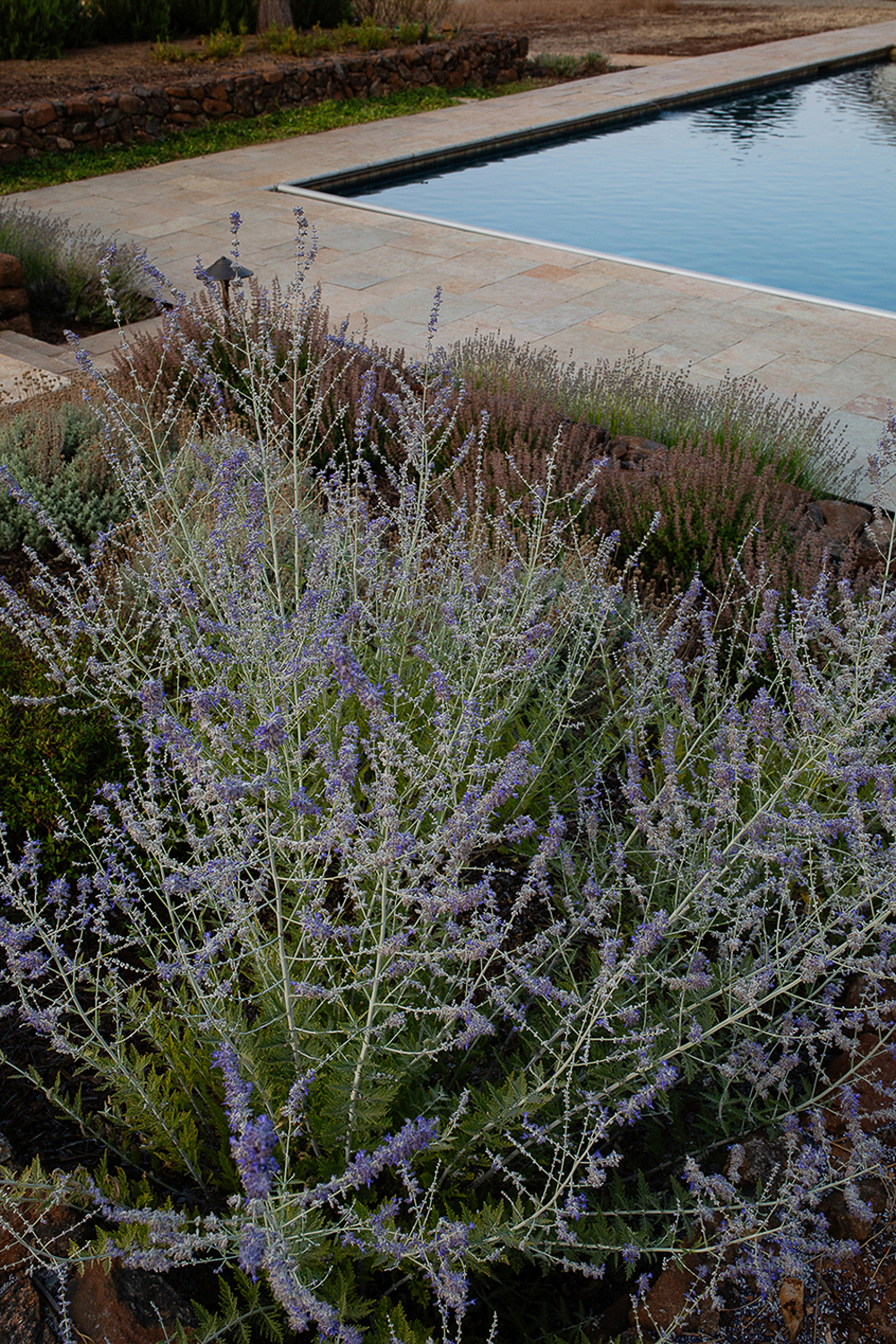 Drought friendly landscape design photography. French lavender at poolside in Sonoma residence.